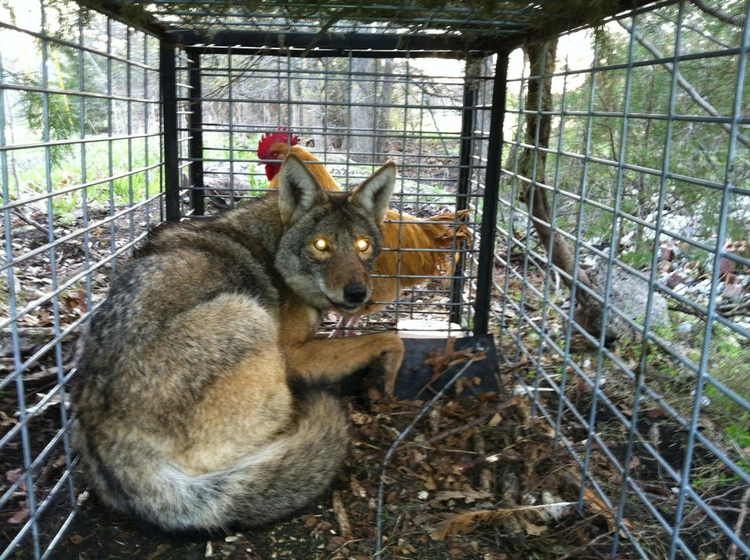 trapping nuisance racoons in the united states Michigan state university extension-oakland county controlling  is required to  trap these nuisance animals a  so that the skunk cannot see out of the trap.