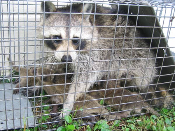 Animal Removal Amp Trapping Animal Evictor